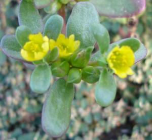 Portulaca oleracea fleurs